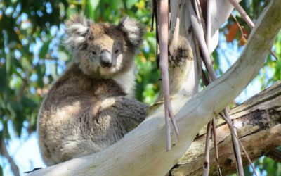 Different forests, different koalas