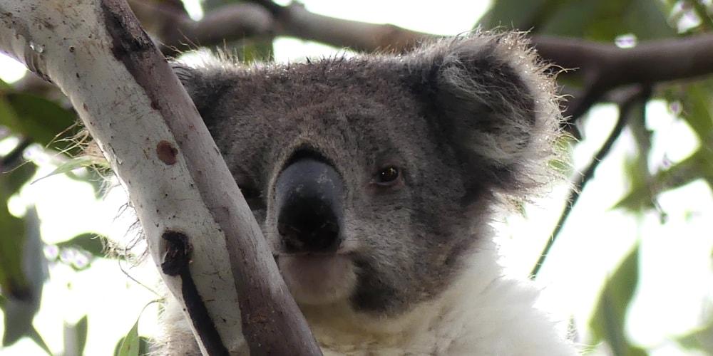 great ocean road wet koala