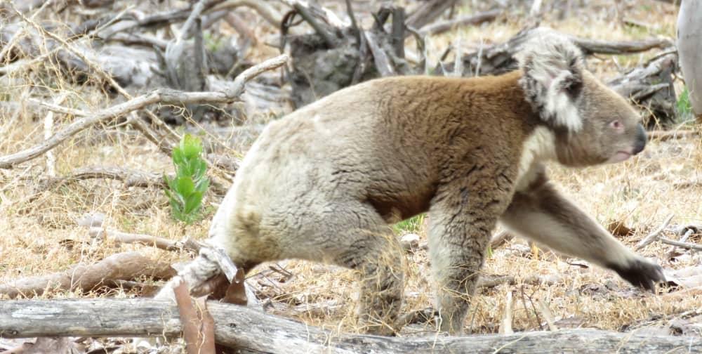 wild koala day walking on ground
