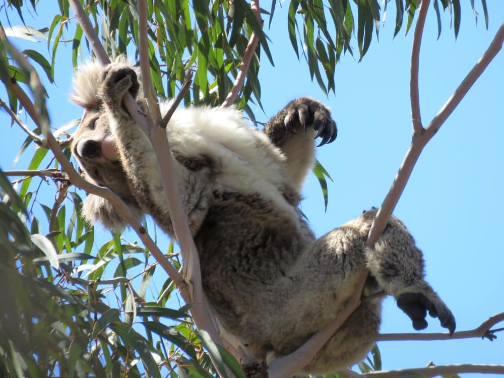 wild koala relaxing in a tree watching koalas without disturbing them