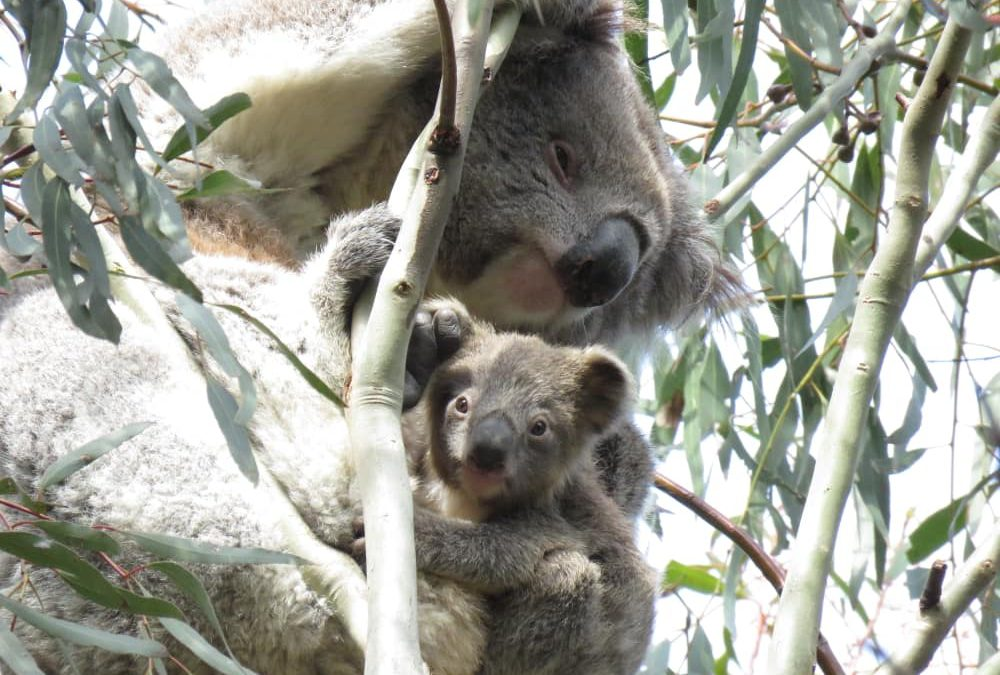 Wild Koala Day: our favourite images of the year