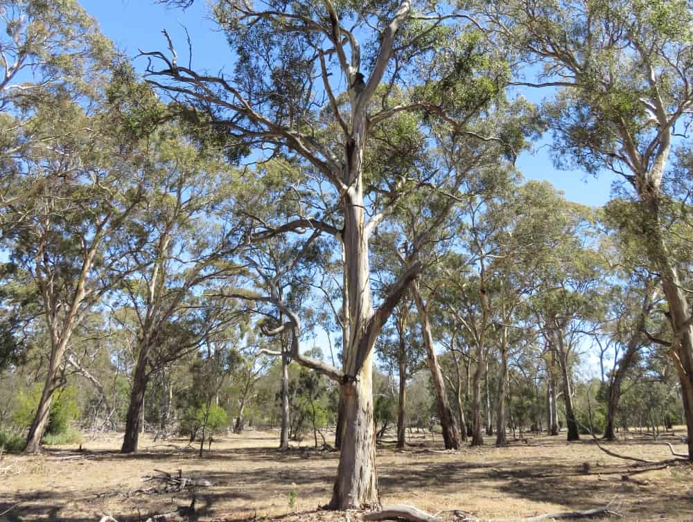different koala forests open woodland YouYangs