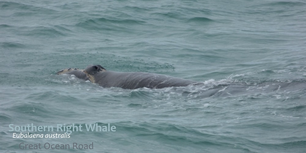 identify southern right whale