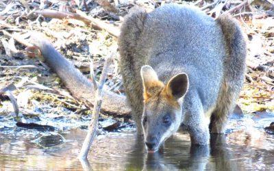 Seeing Great Ocean Road wildlife in rainy season