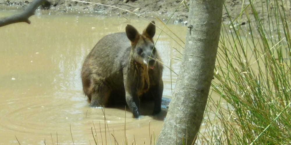 great ocean road wallaby in waterhole