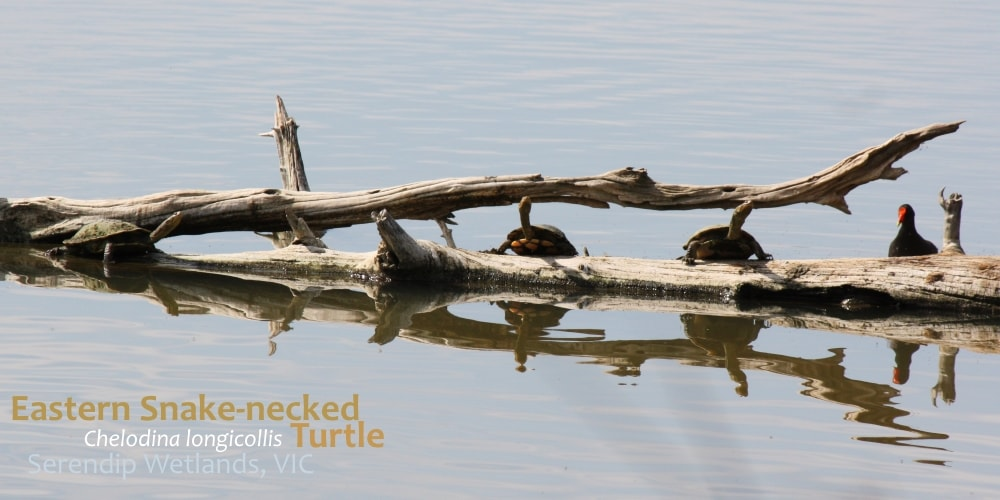 Turtles on log Serendip Wetlands, Melbourne