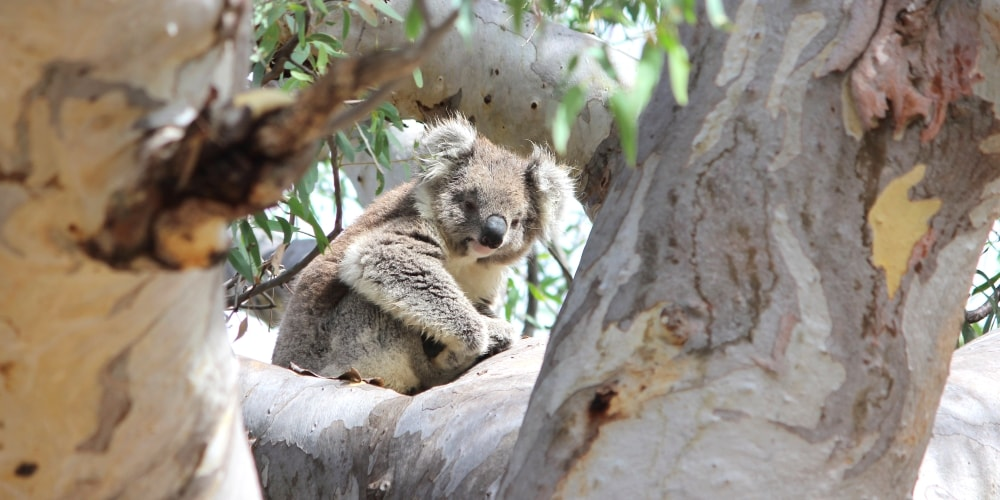 koala in open Red Gum forests