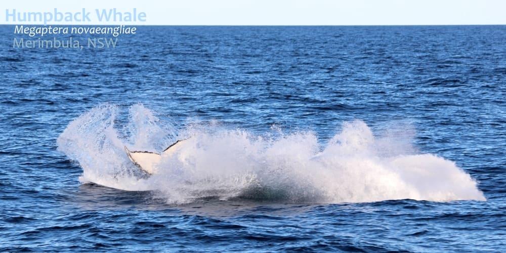 identify humpback whale victoria
