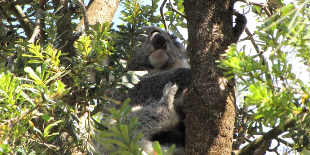 wild koala in Silver Banksia forest Port Campbell