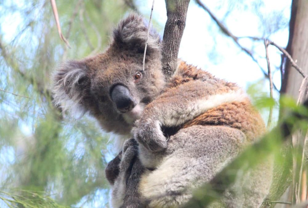 Koalas & Bushfires: How You Can Help