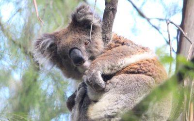 Koalas & Bushfires: How You Can Help