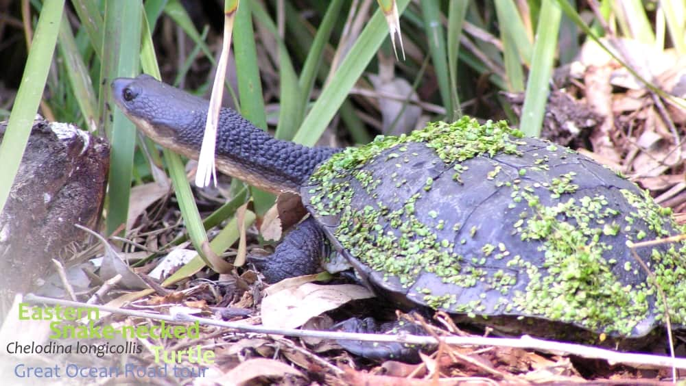 Eastern snake-necked Turtle in pond weed Victoria