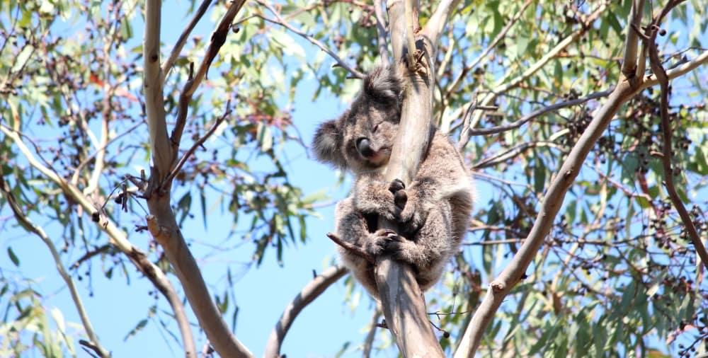 koala in tree blue sky background