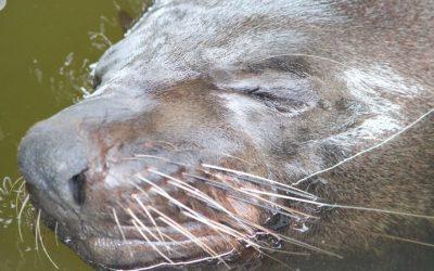 5 Amazing Facts: Australian Fur Seals