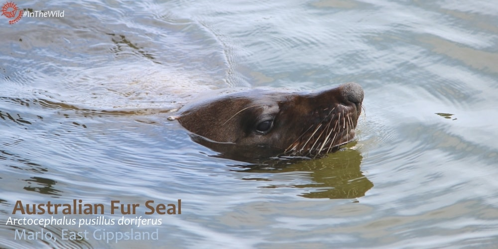 Fur Seal encounter Marlo East Gippsland