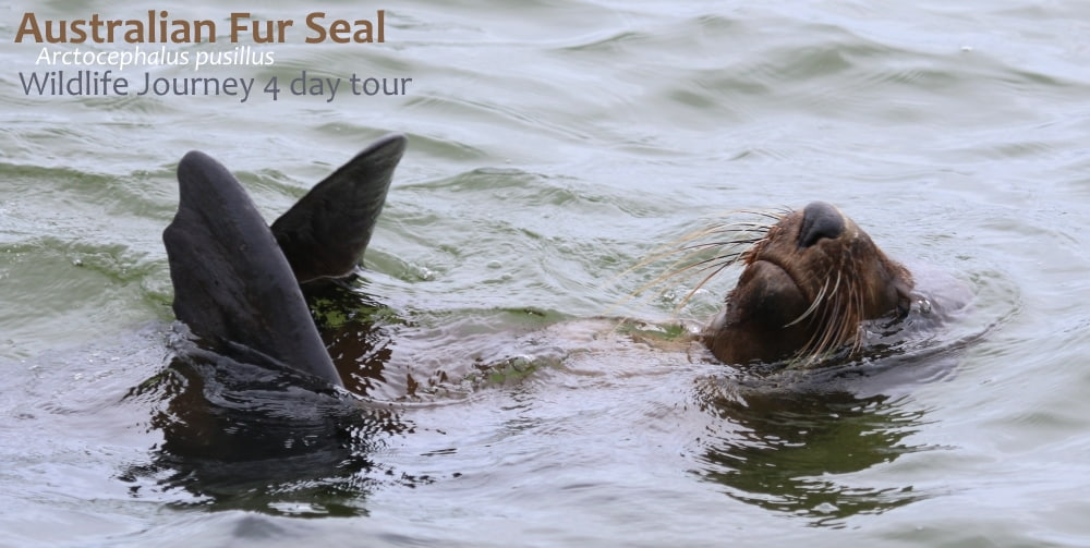 Fur Seal encounter