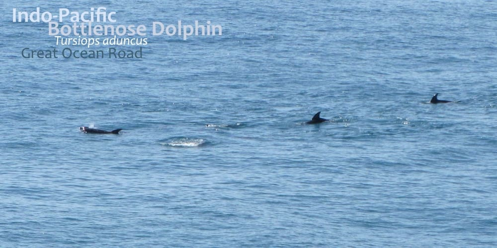 Indo-pacific Bottlenose Dolphins of Great Ocean Road