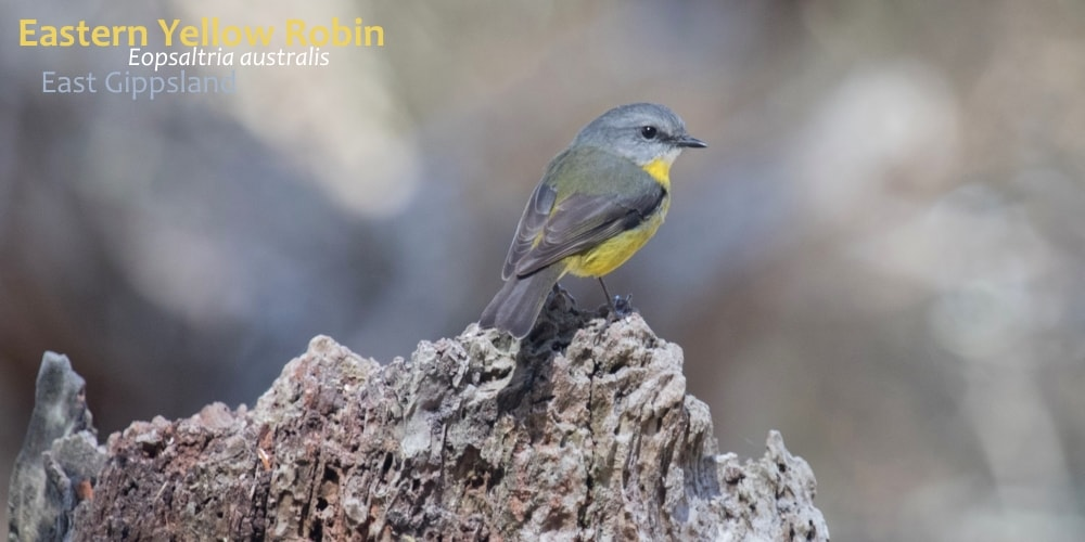 eastern yellow robin bird in Australia