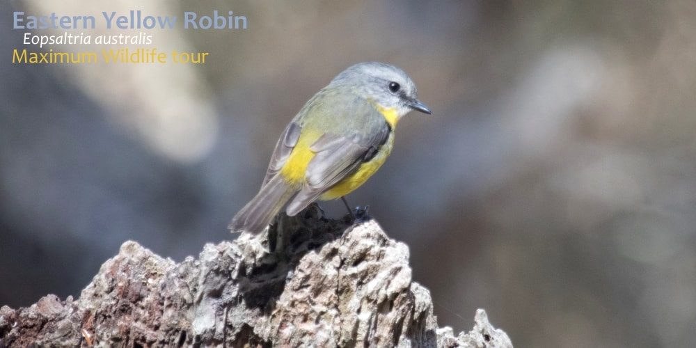 yellow robins of Australia