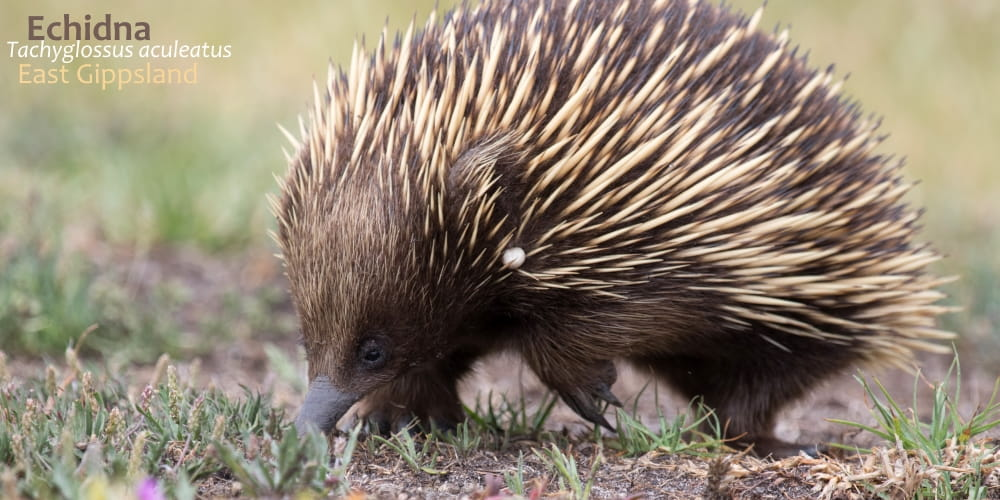 unusual Australian animal Echidna