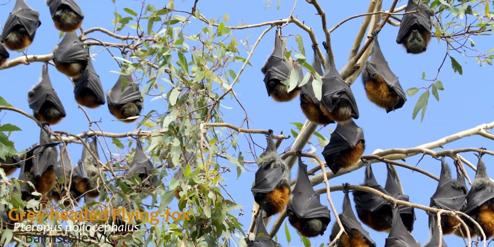 Flying-foxes unusual Australian animals