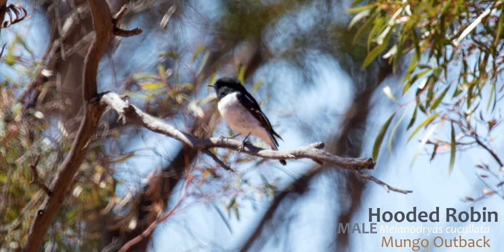 hooded robin male Australia