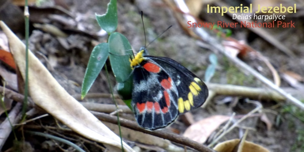 Imperial Jezebel Delias harpalyce East Gippsland