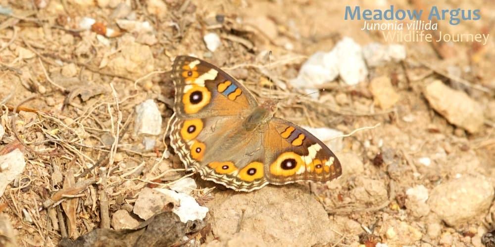 butterfly near Melbourne Junonia villida