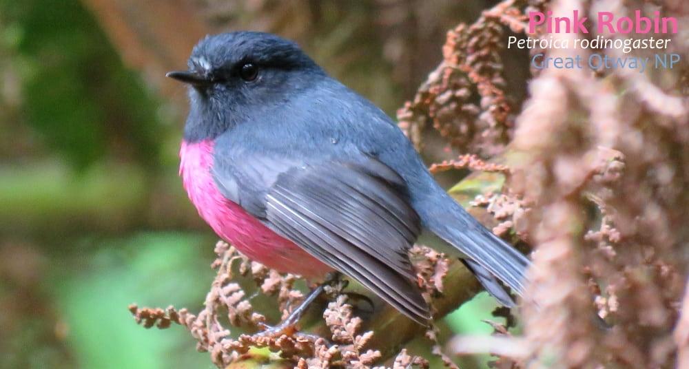 robin birds Australia: Pink Robin male