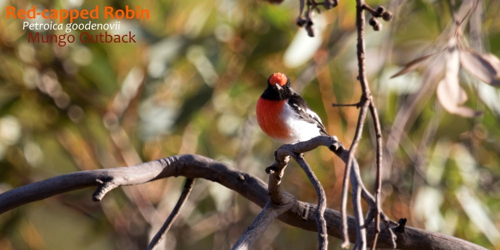 red-capped robin bird Australia