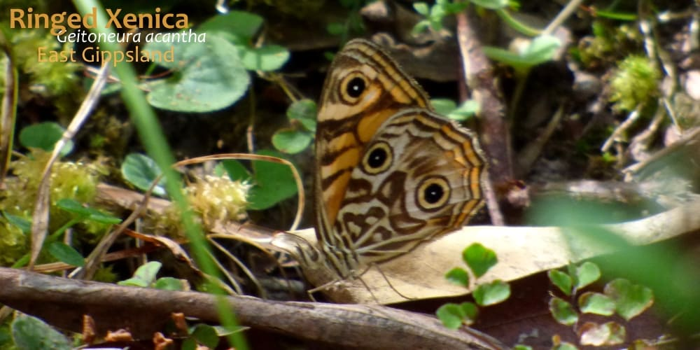 butterflies East Gippsland Geitoneura acantha
