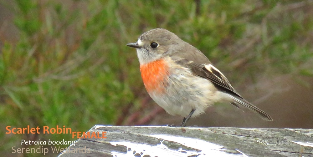 female Scarlet Robin Petroica boodang
