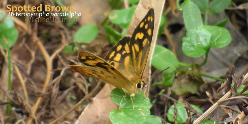 butterflies near Melbourne Heteronympha paradelpha
