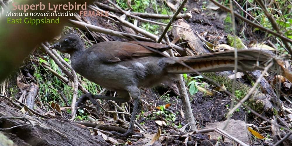 Superb Lyrebird plumage female