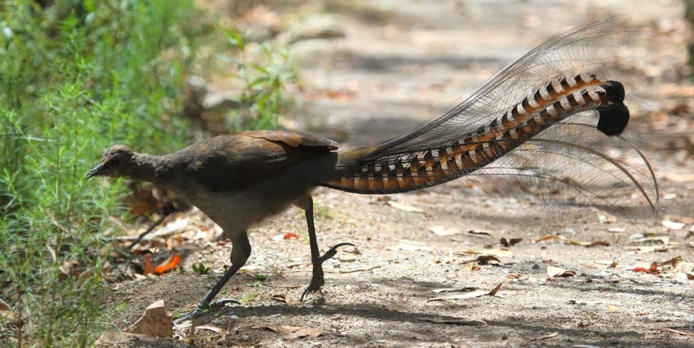 Superb Lyrebird plumage & that amazing tail!