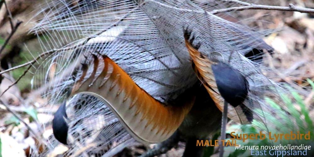 Superb Lyrebird plumage male tail