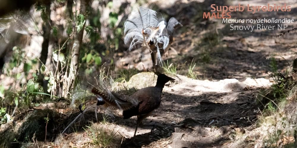Superb Lyrebird plumage two males