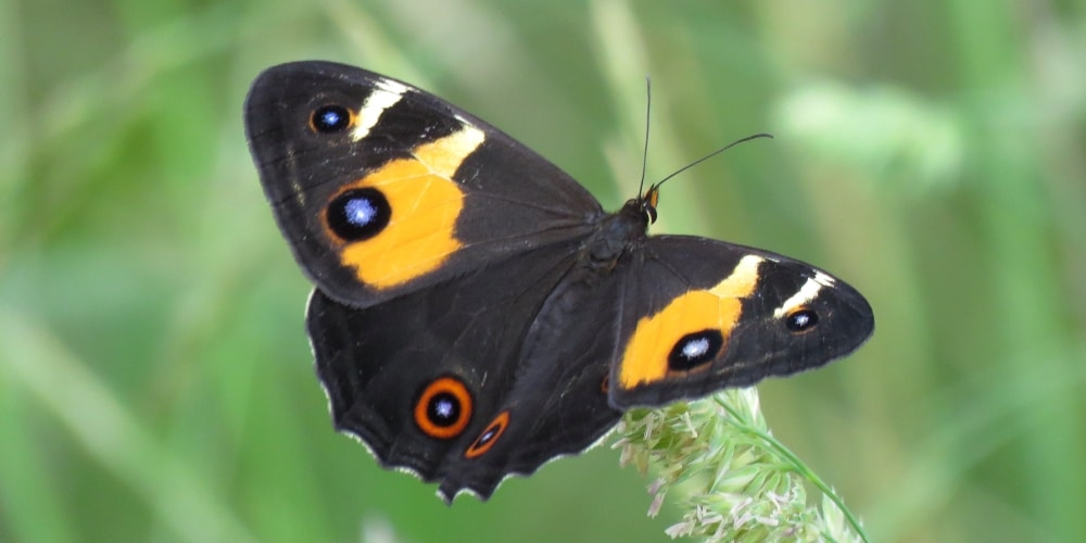 Where to see Butterflies in Southern Australia.