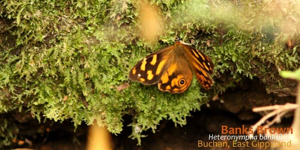 butterflies East Gippsland Heteronympha banksii