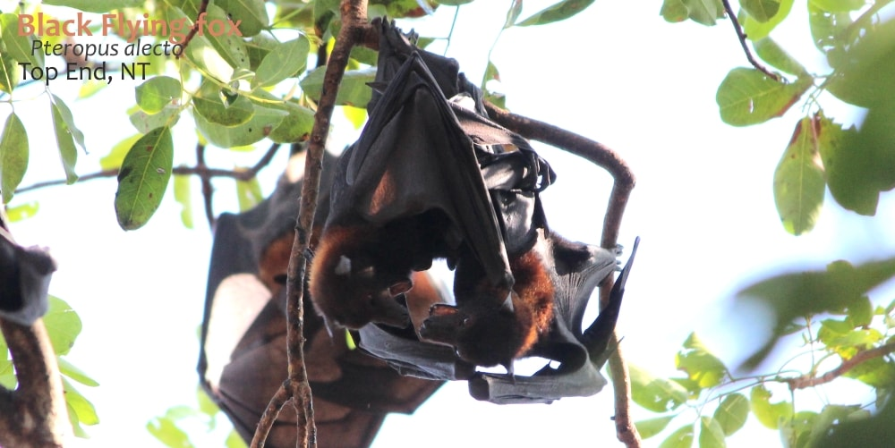 black flying-fox unusual animals