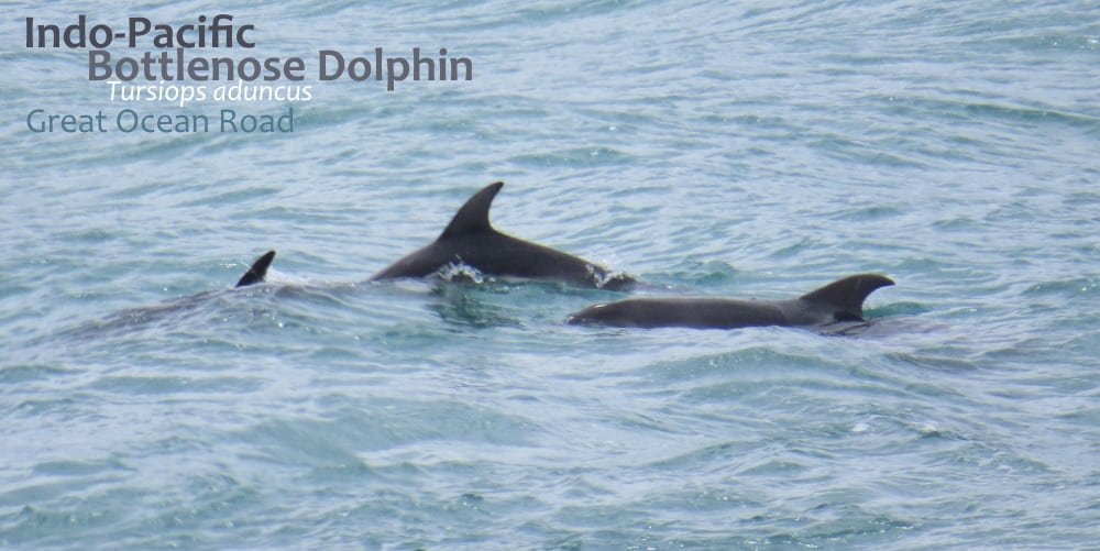 Dolphins of the Great Ocean Road
