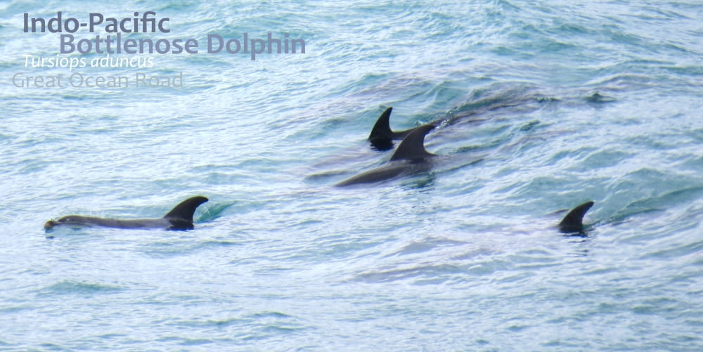 Bottlenose Dolphins in surf Great Ocean Road Victoria