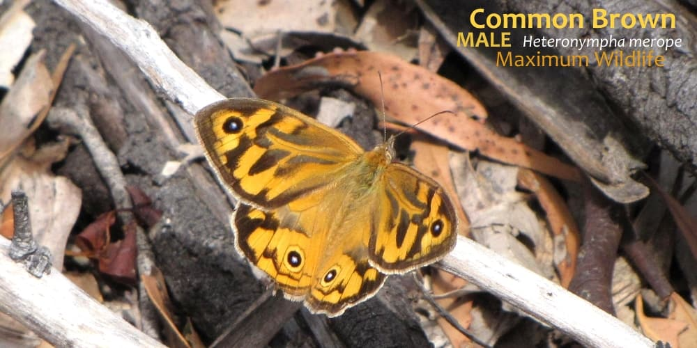 butterflies East Gippsland Heteronympha merope