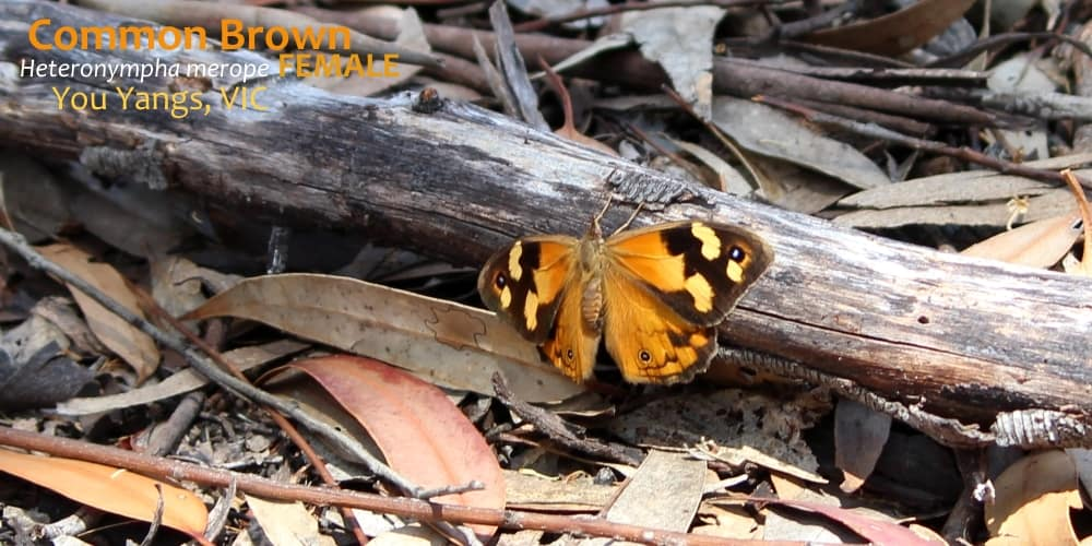 where to see butterflies in southern Australia Heteronympha merope