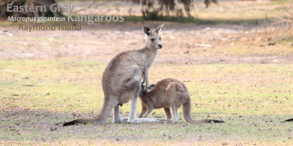 Wildlife Journey safari fauna checklist kangaroos