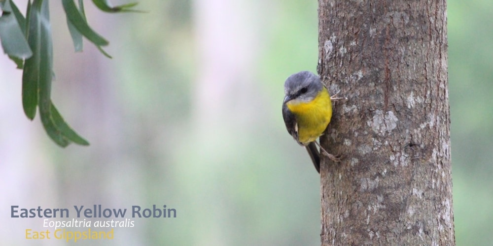 Eastern Yellow Robin perched Australia