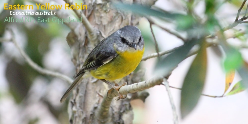 yellow robin bird Australia