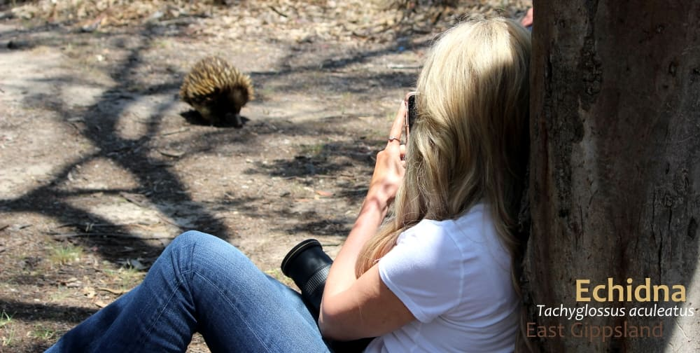 best island for wildlife: Echidna with person