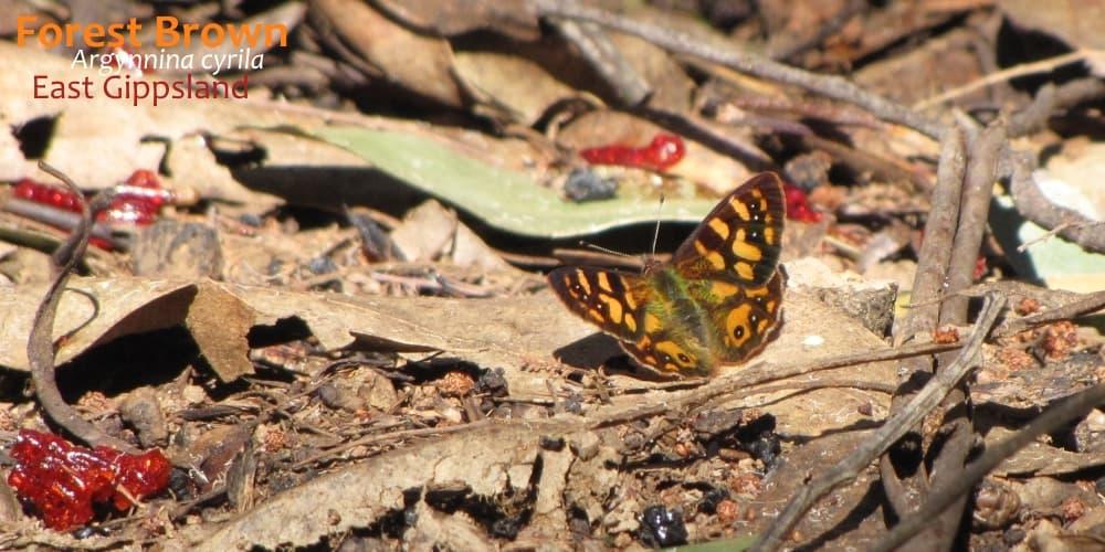 butterflies near Melbourne Argynnina cyrila