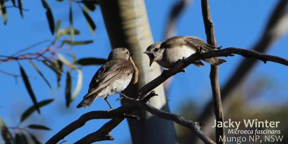 Jacky Winter flyrobin Australia feeding juvenile